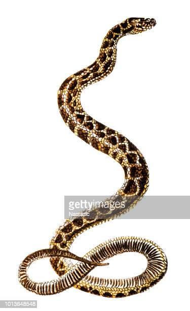 ilustraciones, imágenes clip art, dibujos animados e iconos de stock de hoplocephalus es un género de serpientes de la familia elapidae (cobra) - cobra