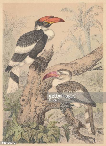hornbills (bucerotidae), hand-colored lithograph, published in 1887 - tropical bird stock illustrations