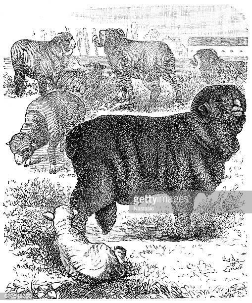 horned merino sheep (ram) - ram animal stock illustrations, clip art, cartoons, & icons