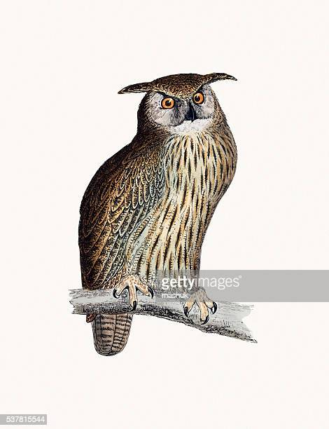 ilustrações, clipart, desenhos animados e ícones de coruja cornuda pássaro - zoologia