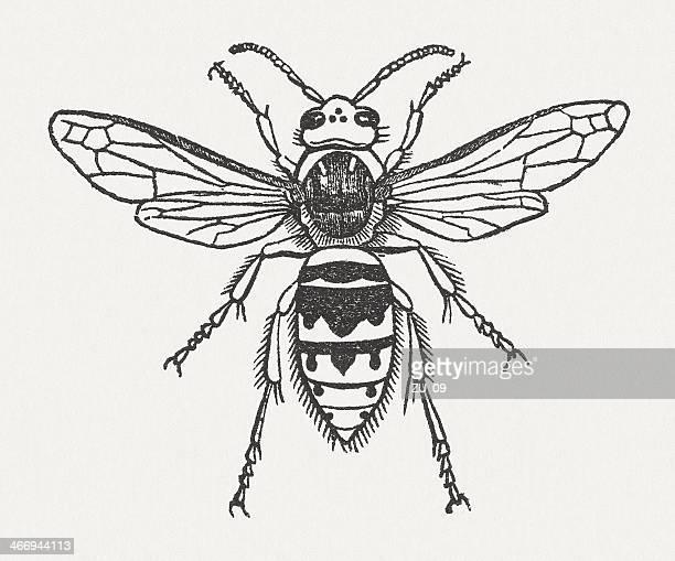 hornet (vespa crabro), wood engraving, published in 1865 - vespa stock illustrations, clip art, cartoons, & icons