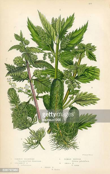 Hornwort, Nettle, Victorian Botanical Illustration