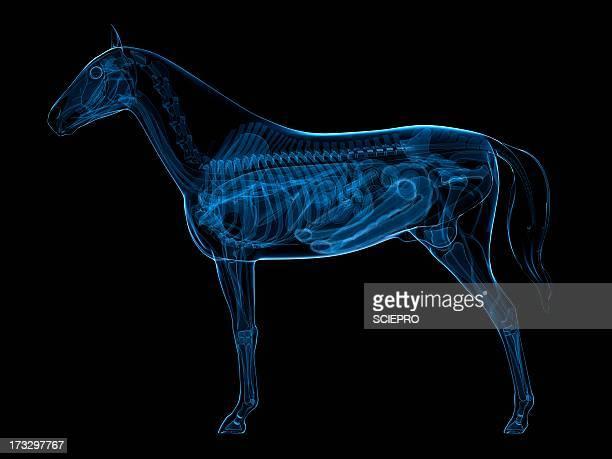 horse anatomy, artwork - veterinarian stock illustrations, clip art, cartoons, & icons