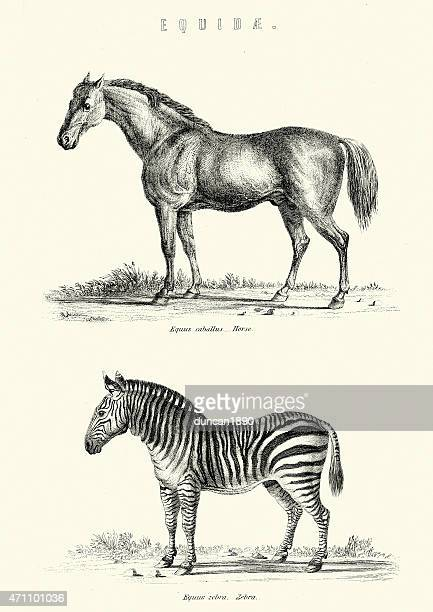 Horse and Zebra Vintage Engraving