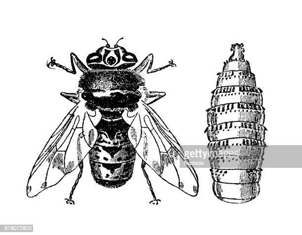 horse bot fly and larve - bot fly stock illustrations