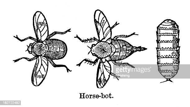 horse bot fly - bot fly stock illustrations