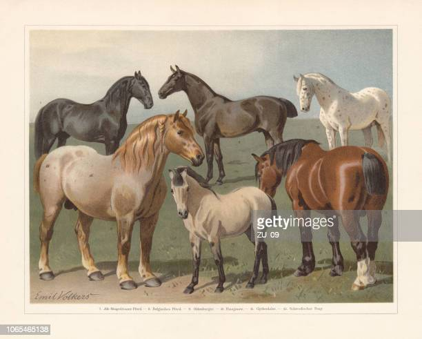 horse breeds, chromolithograph, published in 1897 - paddock stock illustrations, clip art, cartoons, & icons
