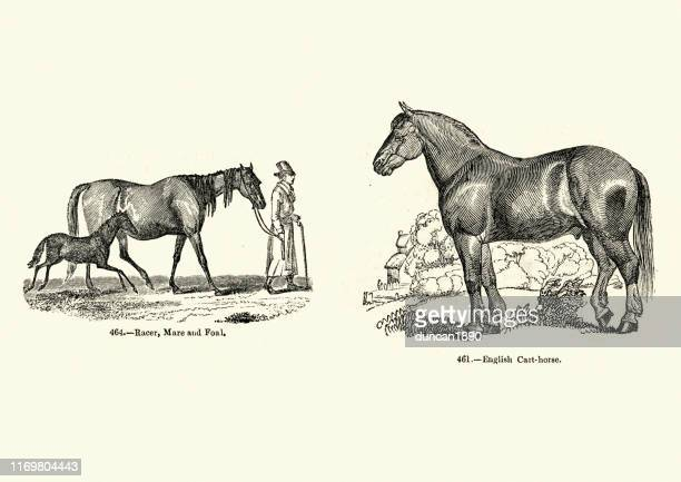 horse breeds, racer, mare and foal, english cart horse - mare stock illustrations, clip art, cartoons, & icons