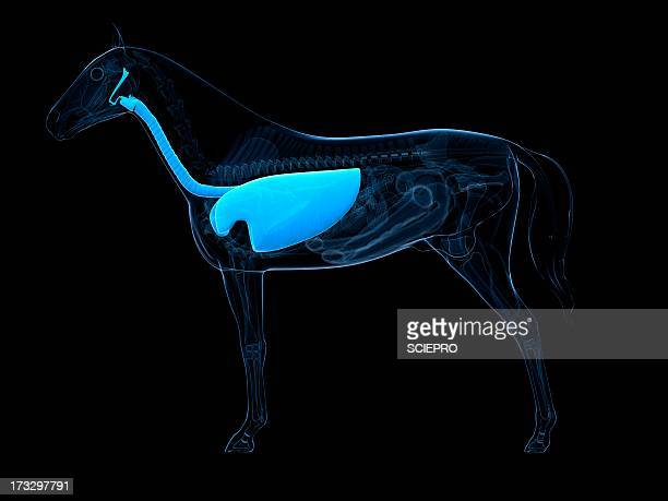 horse respiratory system, artwork - translucent stock illustrations