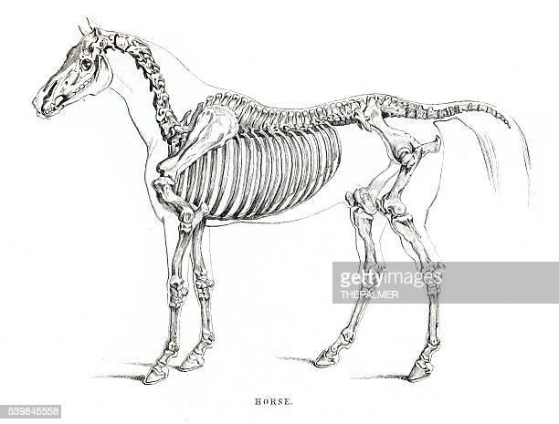 Horse skeleton engraving 1841