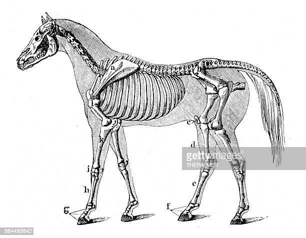 horse skeleton engraving 1888 - animal skeleton stock illustrations, clip art, cartoons, & icons