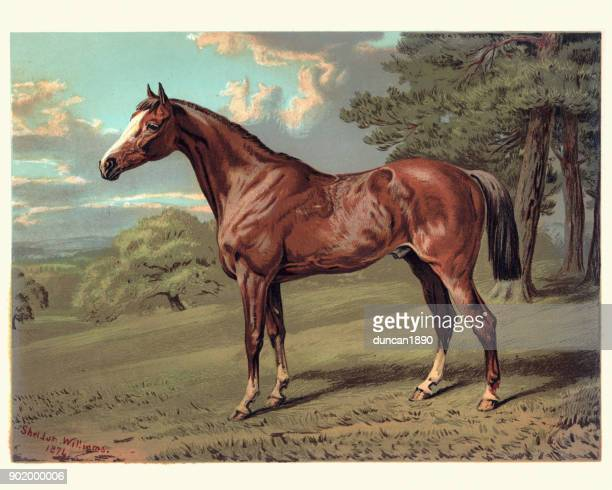 horse, stilton a hunter, 19th century - horse stock illustrations