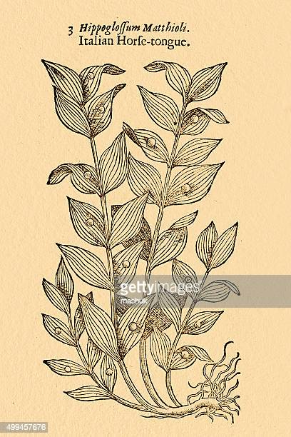 horse tongue lily plant  illustration by gerard 1633 - 16th century style stock illustrations