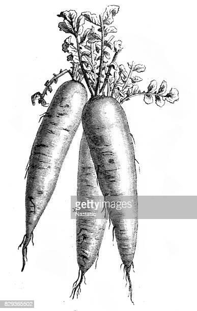 horseradish - etching stock illustrations