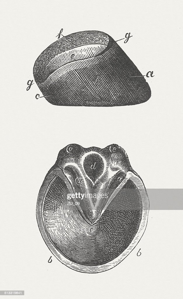 Horse's hoof, wood engraving, published in 1883 : stock illustration
