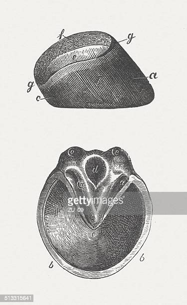 horse's hoof, wood engraving, published in 1883 - paddock stock illustrations, clip art, cartoons, & icons