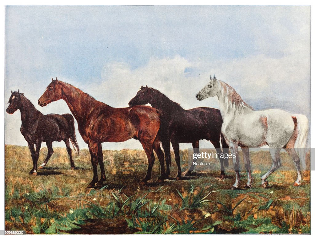 Horsses : stock illustration