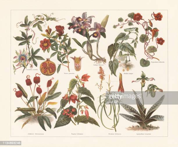 houseplants, chromolithograph, published in 1897 - lithograph stock illustrations