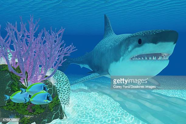 A huge Megalodon shark swims next to a colorful coral reef in clear ocean waters.
