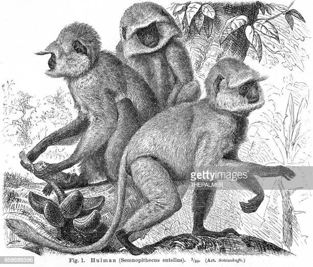 Hulman monkey engraving 1895