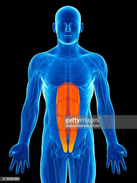 human abdominal muscles, artwork - abdominal muscle stock illustrations, clip art, cartoons, & icons