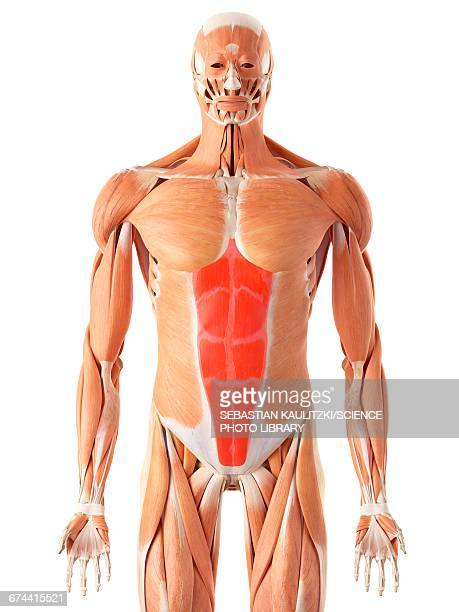 human abdominal muscles - abdominal muscle stock illustrations, clip art, cartoons, & icons