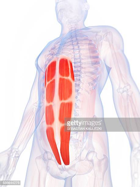 human abdominal muscles, illustration - abdominal muscle stock illustrations, clip art, cartoons, & icons