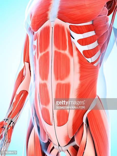 human abdominal muscular system, artwork - abdominal muscle stock illustrations, clip art, cartoons, & icons