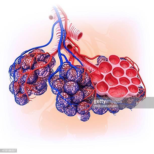 human alveoli, artwork - respiratory system stock illustrations, clip art, cartoons, & icons