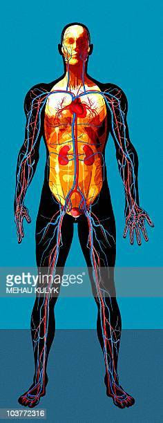 human anatomy, artwork - anatomical model stock illustrations, clip art, cartoons, & icons