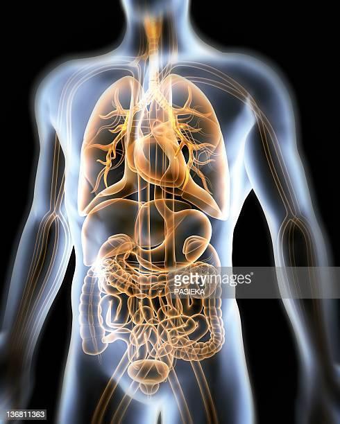 human anatomy, artwork - human lung stock illustrations, clip art, cartoons, & icons