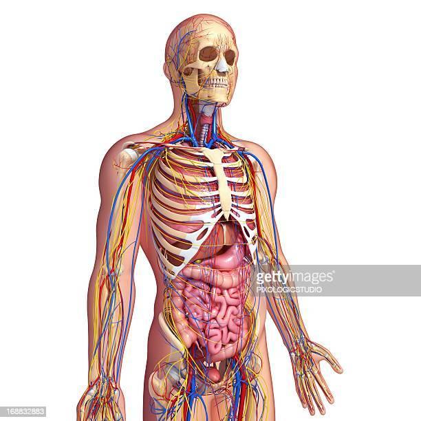 Human anatomy, artwork