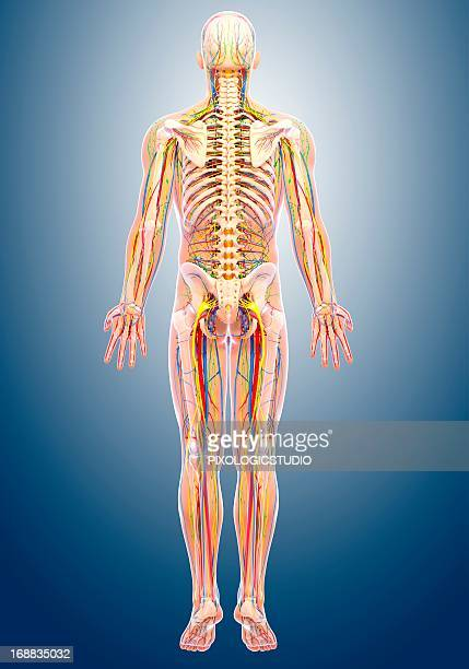 Human Anatomy Organs Back View Stock Illustrations And Cartoons