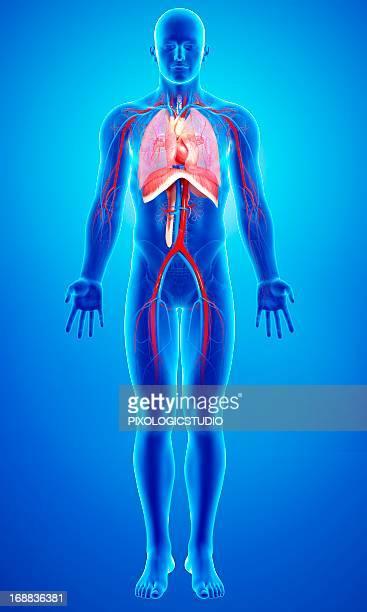 ilustraciones, imágenes clip art, dibujos animados e iconos de stock de human anatomy, artwork - sistema respiratorio