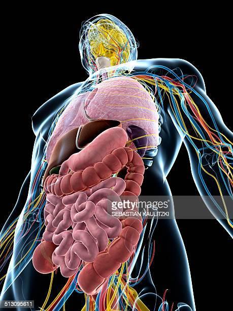 human anatomy, artwork - human small intestine stock illustrations