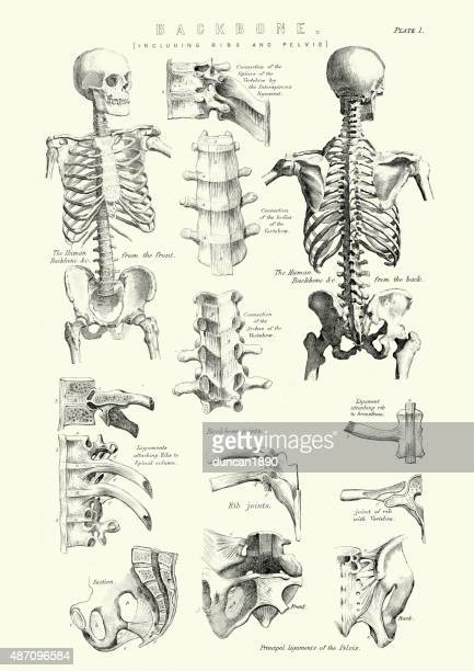 Human Anatomy - Backbone including Ribs and Pelvis