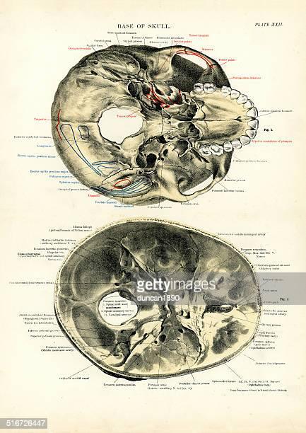 人体-ベースのスカル - 人体図点のイラスト素材/クリップアート素材/マンガ素材/アイコン素材