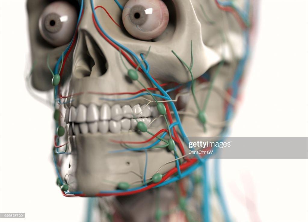 Human Anatomy Body Skeletal Organs Vascular Lymph And Nervous