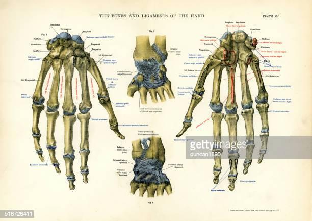 人体-と骨靱帯の手 - 人体図点のイラスト素材/クリップアート素材/マンガ素材/アイコン素材