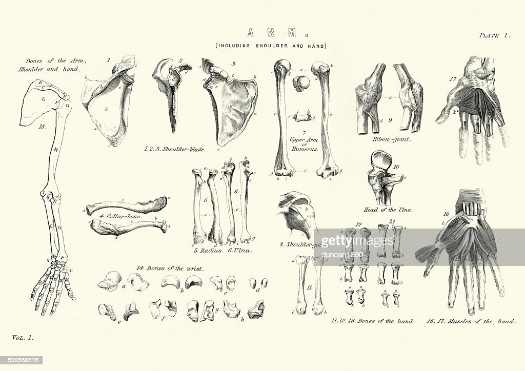 Human Anatomy Bones Of The Arm Stock Illustration Getty Images