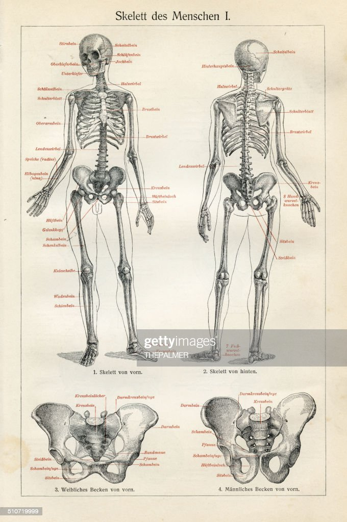 Human Anatomy Drawings Stock Illustration Getty Images