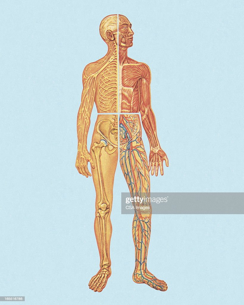 Human Anatomy Stock Illustration Getty Images