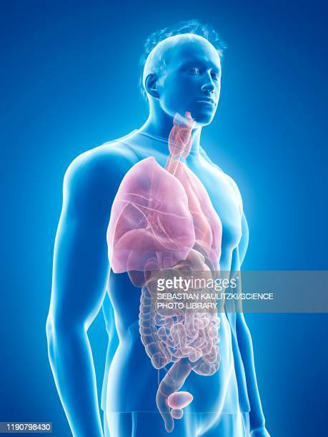 human anatomy, illustration - digestive system stock illustrations