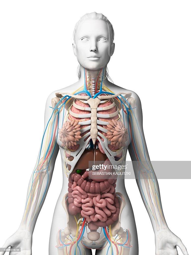 Human Anatomy Illustration Stock Illustration Getty Images