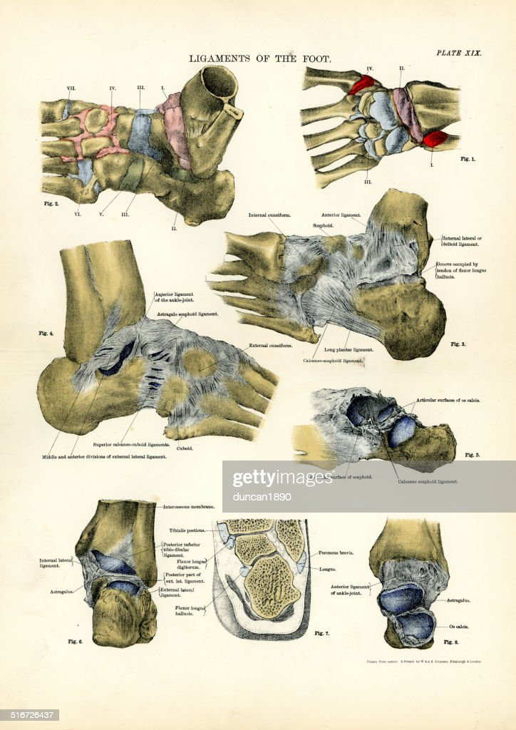 Human Anatomy Ligaments Of The Foot Stock Illustration | Getty Images