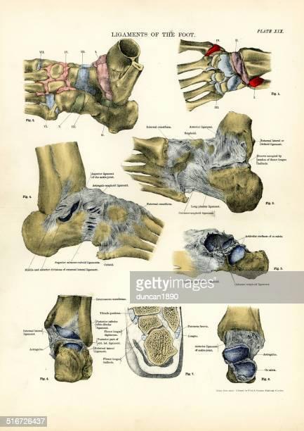 人体-靱帯の足 - 人体図点のイラスト素材/クリップアート素材/マンガ素材/アイコン素材
