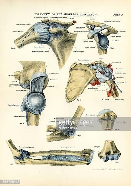 ilustrações, clipart, desenhos animados e ícones de anatomia humanos-ligamentos do ombro e o cotovelo - membro parte do corpo