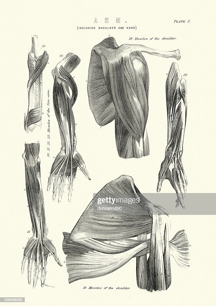 Human Anatomy Muscles Of The Arm Stock Illustration   Getty Images