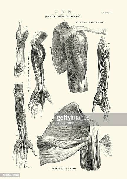 人体部位の筋肉の腕 - 人体図点のイラスト素材/クリップアート素材/マンガ素材/アイコン素材