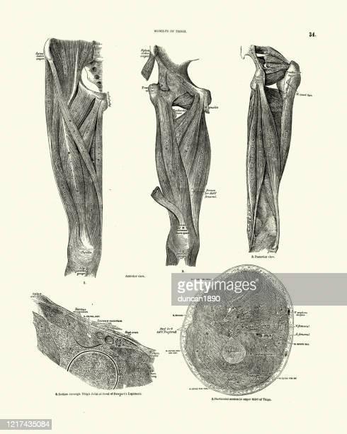 人間の解剖学,太ももの筋肉,ビクトリア朝の解剖学 - 人体図点のイラスト素材/クリップアート素材/マンガ素材/アイコン素材